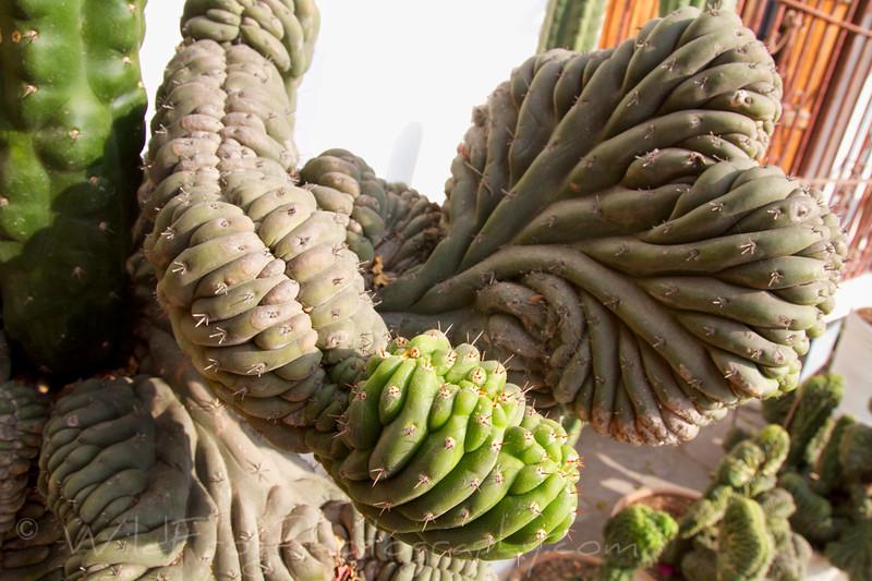 Cool cactus Lima City