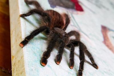 Tarantula (Theraphosidae)