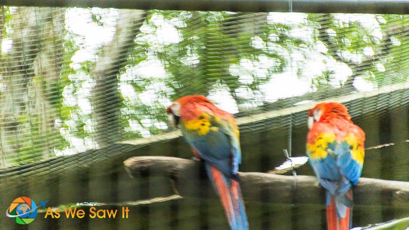 Scarlet macaws at AmaZOOnico animal rescue shelter