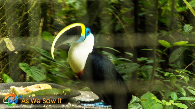 White-throated toucan at AmaZOOnico animal rescue shelter