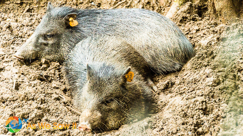 Peccaries bred at AmaZOOnico animal rescue shelter
