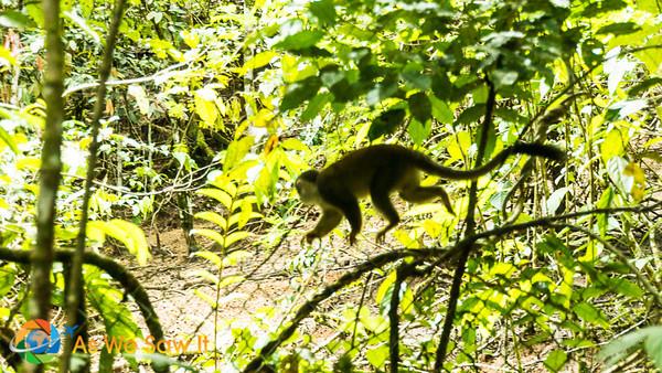 Wooly monkey at AmaZOOnico animal rescue shelter