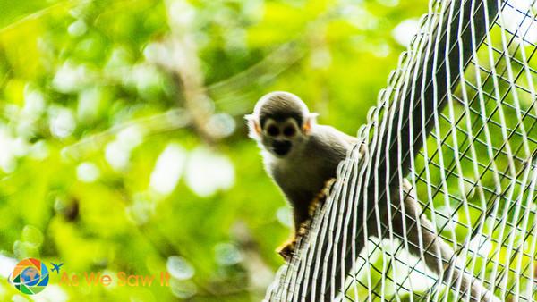 Wooly monkey baby at AmaZOOnico animal rescue shelter