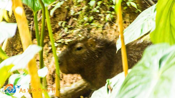 Capybara at AmaZOOnico animal rescue shelter