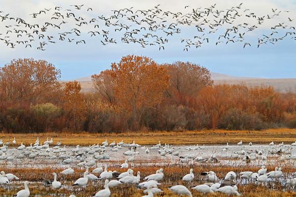 Sandhill Cranes - Socorro, NM - Bosque del Apache, #0243