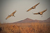 Sandhill Crane - Socorro, NM - Bosque del Apache, #0219