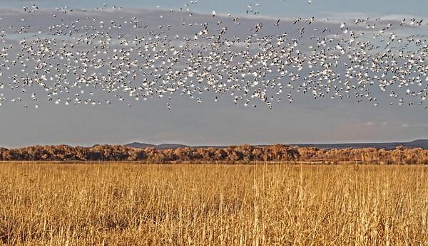 Snow Geese - Socorro, NM - Bosque del Apache, #0246