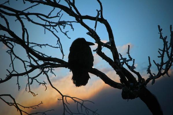 Raven at the Grand Canyon - Arizona, #312