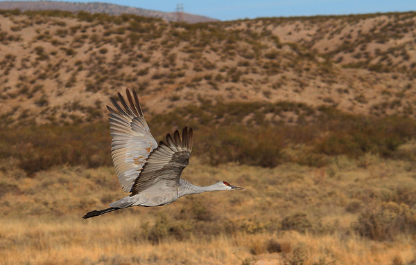 Sandhill Crane - Socorro, NM - Bosque del Apache, #0229