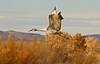 Sandhill Crane - Socorro, NM - Bosque del Apache, #0235