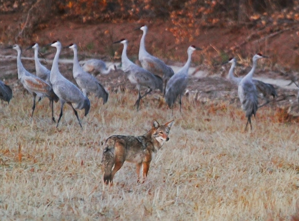 Who's in the henhouse? -- Sandhill Cranes with Coyote - Socorro, NM - Bosque del Apache, #0247