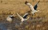 Sandhill Cranes - Socorro, NM - Bosque del Apache, #0227