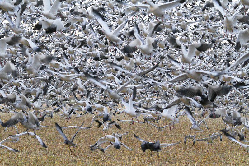 Lift off of Snow Geese, Socorro, NM, Bosque del apache, #0241