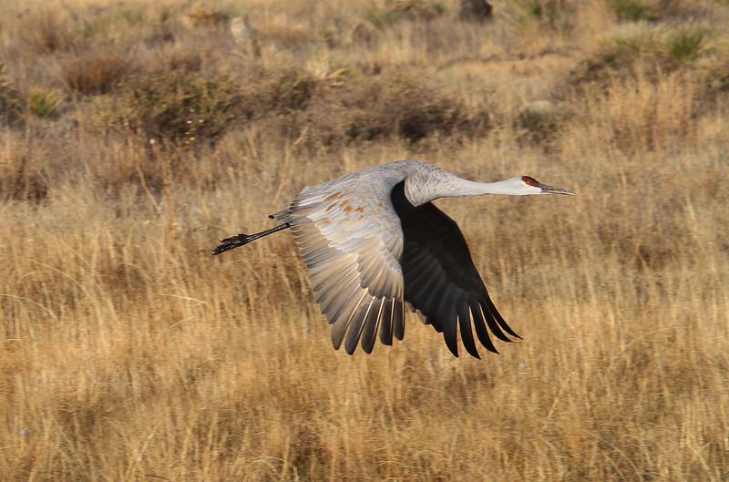 Sandhill Crane - Socorro, NM - Bosque del Apache, #0228