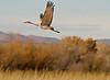 Sandhill Crane - Socorro, NM - Bosque del Apache, #0234