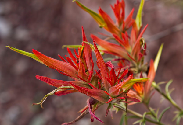Indian Paintbrush desert flower, Zion National Park, #0524