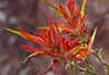 Indian Paintbrush desert flower, Zion National Park, #0524