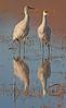 Sandhill Cranes - Socorro, NM - Bosque del Apache, #0232