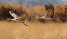 Sandhill Crane, Socorro, NM, Bosque del Apache, #0236