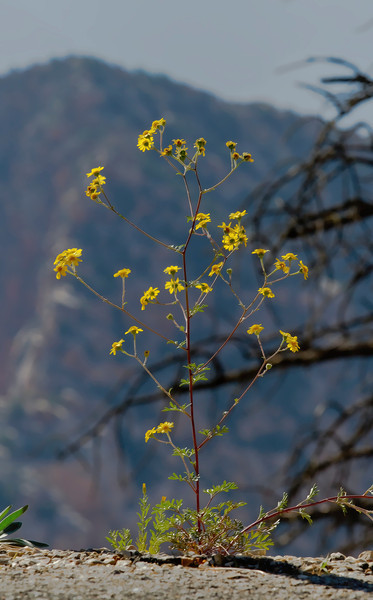 Desert flower, Zion National Park, #0542