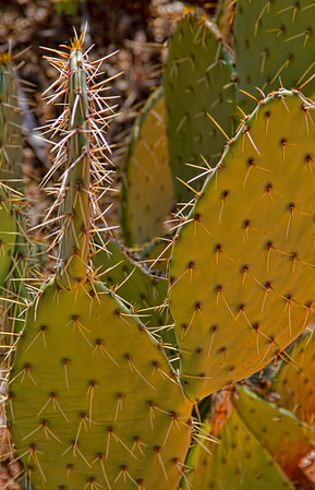 Prickley Pear Cactus, Zion National Park, #0527