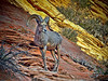 Bighorn Ram Sheep at Zion National Park, #0531b