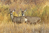 Mule deer at Bosque del Apache, Socorro, NM #0249