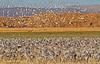 Sandhill Cranes, Socorro, NM, Bosque del Apache, #0238