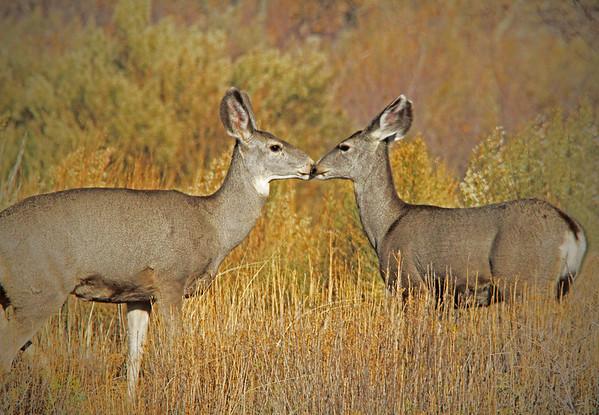 Mule deer at Bosque del Apache, Socorro, NM #0248