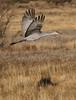 Sandhill Crane - Socorro, NM - Bosque del Apache, #0226