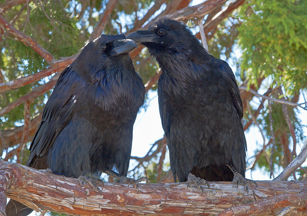 Ravens at Zion National Park, #0516
