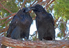 Ravens at Zion National Park, #0516