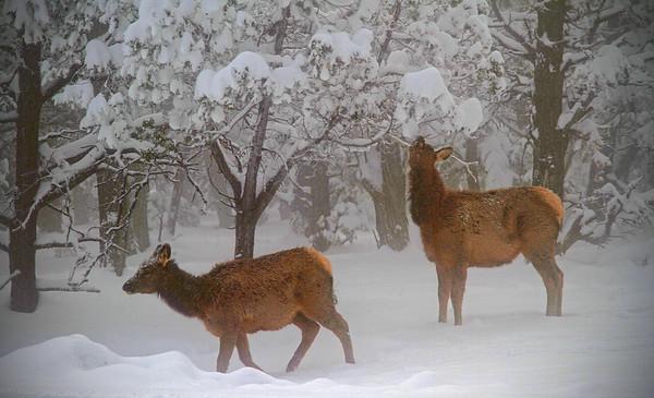 Elk calves - Grand Canyon - Arizona, #0314