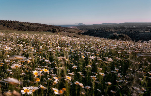Field of flowers in Andalucia, Spain with the view of British Gibraltar and the African mountains in the distance. 2014.
