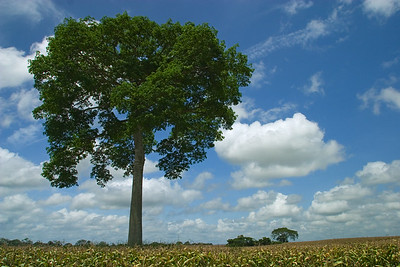 Ceiba tree in middle of corn field in Spanish Lookout, Cayo, Belize.