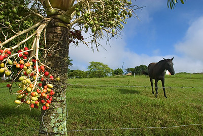 Horse in pasture at Spanish Lookout, Cayo, Belize.