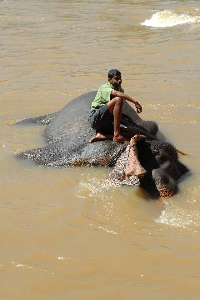 Mahout and elephants having fun at the bathing point Pinnawala Elephant Orphanage. The orphanage is also a nursery and captive breeding ground for wild Asian elephants in Sri Lanka.