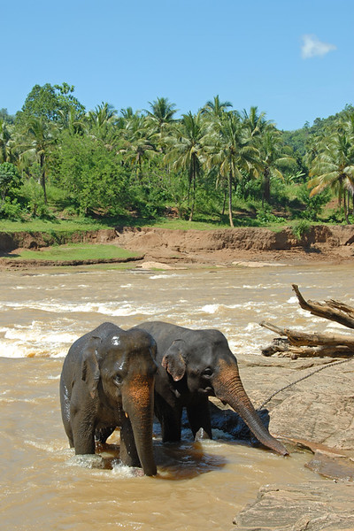 Baby elephants having fun at the bathing point Pinnawala Elephant Orphanage. The orphanage is also a nursery and captive breeding ground for wild Asian elephants in Sri Lanka.