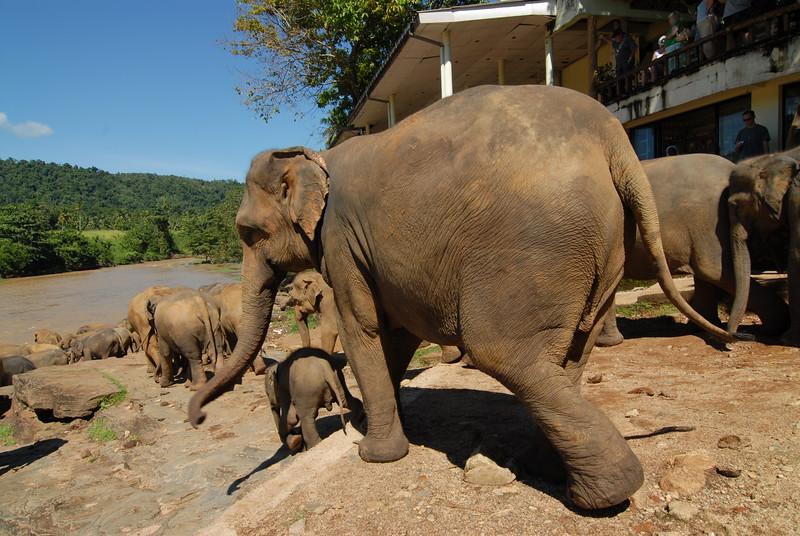 Elephants rushing for their bath at Pinnawala Elephant Orphanage. The orphanage is also a nursery and captive breeding ground for wild Asian elephants in Sri Lanka.