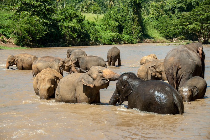 Elephants having fun at the bathing point Pinnawala Elephant Orphanage. The orphanage is also a nursery and captive breeding ground for wild Asian elephants in Sri Lanka.