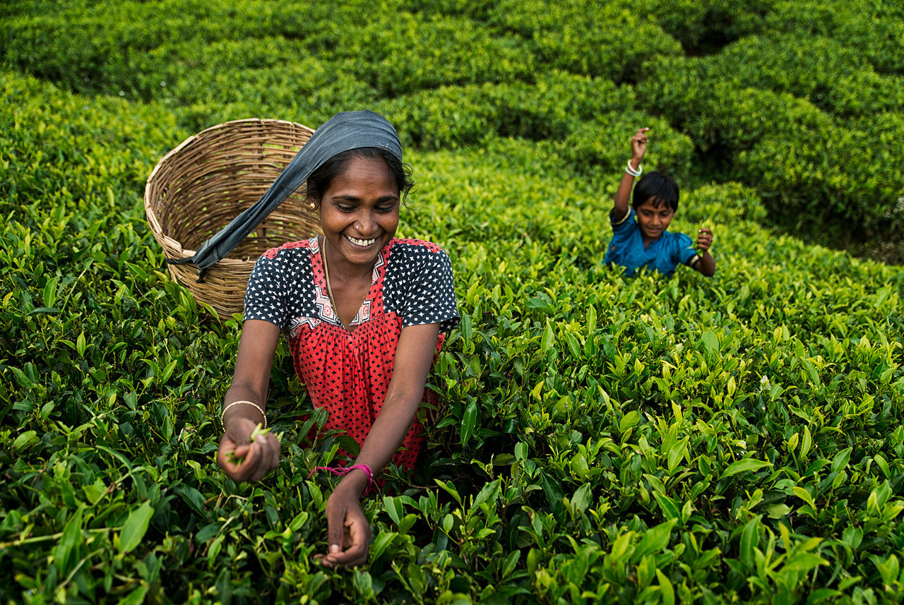Tea is cultivated in Sri Lanka using the 'contour planting' method, where tea bushes are planted in lines in coordination with the contours of the land, usually on slopes. For commercial manufacture the 'flush' or leaf growth on the side branches and stems of the bush are used. Generally two leaves and a bud, which have the flavour and aroma, are skilfully plucked, usually by women. <br /> <br /> Sri Lanka is one of the few countries where each tea leaf is picked by hand rather than by mechanization; if machinery were used, often a considerable number of coarse leaves and twigs could be mixed in, adding bulk, but not flavor to the tea. With experience the women acquire the ability to pluck rapidly and set a daily target of around 15 to 20 kg (33 to 44 lb) of tea leaves to be weighed and then transported to the nearby tea factory. <br /> <br /> Tea plants in Sri Lanka require constant nurturing and attention. An important part of the process is taking care of the soils with the regular application of fertilizer. Younger plants are regularly cut back 10–15 cm (4–6 in) from the ground to encourage lateral growth and are pruned very frequently with a special knife.<br /> <br /> Woman plucking tea with her son in the background.<br /> <br /> Nuwara Eliya, Sri Lanka, 2014