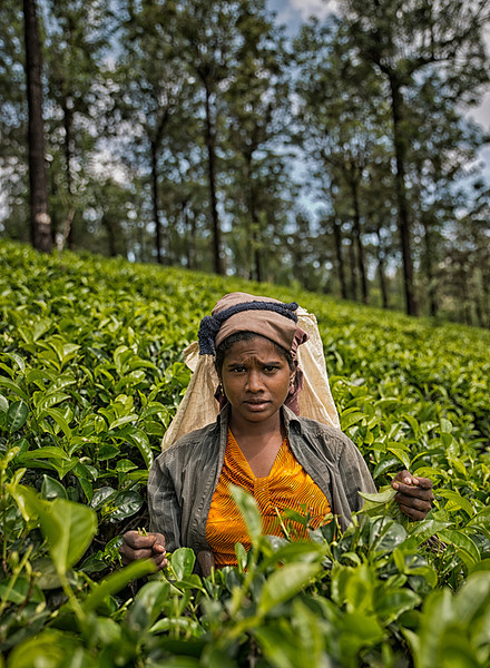 Tea production is one of the main sources of foreign exchange for Sri Lanka (formerly called Ceylon), and accounts for 2% of GDP, generating roughly $700 million annually to the economy of Sri Lanka. It employs, directly or indirectly over 1 million people, and in 1995 directly employed 215,338 on tea plantations and estates. Sri Lanka is the world's fourth largest producer of tea. In 1995, it was the world's leading exporter of tea, (rather than producer) with 23% of the total world export, but it has since been surpassed by Kenya.<br /> <br /> Tea plucker in a tea plantation around the town of Nuwara Eliya,<br /> <br /> Sri Lanka, 2014.