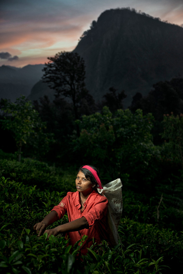 Ceylon tea. The humidity, cool temperatures, and rainfall in the country's central highlands provide a climate that favours the production of high quality tea. The industry was introduced to the country in 1847 by James Taylor, the British planter who arrived in 1852.<br /> <br /> Tea Plucker in the mountains around the town of Ella.<br /> <br /> Sri Lanka, 2014.