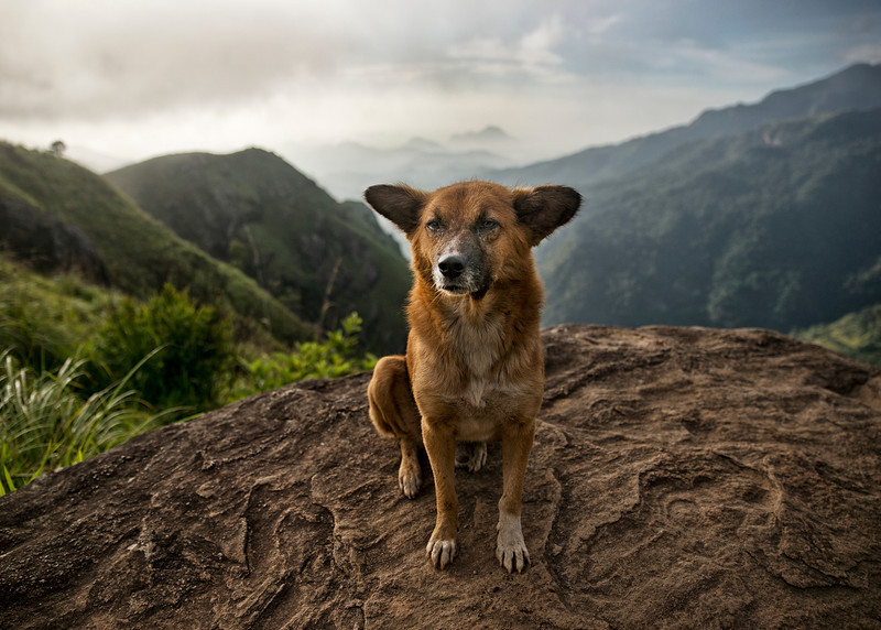 Street dogs are everywhere in Sri Lanka. Although most of them are passive and pose no threat, many of them can be seen suffering from malnutrition and bearing diseases. Some however, are cute and serve as tour guides to remote places, like this particular dog who didn't hesitate to show me the way to Little Adams Peak early in the morning. <br /> <br /> Little Adams Peak, Ella, Sri Lanka, 2014.