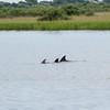 Dolphins in the Salt Run