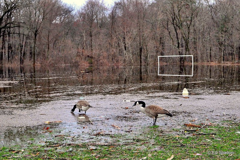 The geese are getting comfortable with their new accommodations.