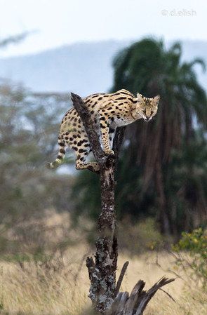 Leopard on a Perch