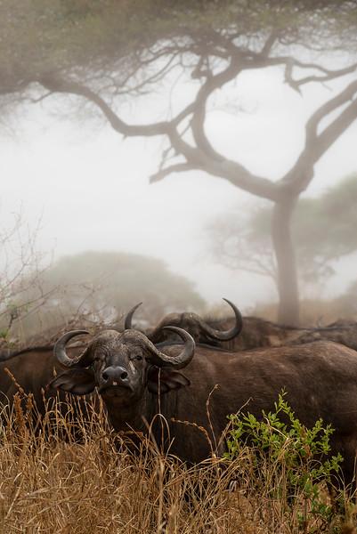 Buffalo in Tarangire national park  Tanzania, 2019