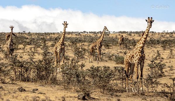 Giraffe Lookup