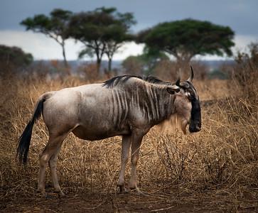 Wildebeests  Nogorongoro National Park, Tanzania, 2019